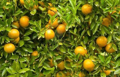 Wisata petik jeruk di malang yang begitu menyenangkan
